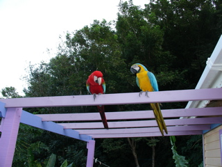Semi tame macaws visit the cottage - belairgardencottage.com